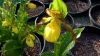 Cypripedium pubescens Jungpflanze